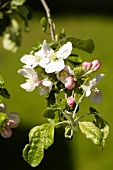 Apple blossom on the branch (variety Jonathan)