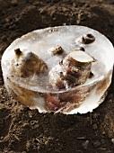Topinamburknollen im Eisblock auf Erde