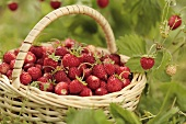 Wild strawberries in a basket surrounded by strawberry plants