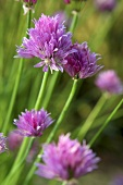 Chive flowers out of doors