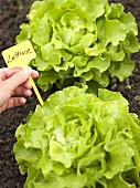 Hand holding label with the word Lettuce beside lettuce