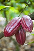Cacao fruits on branch