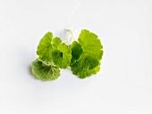 Ground ivy leaves