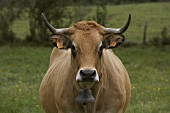 Aubrac cow in pasture (France)