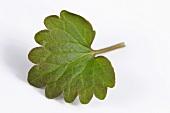 A ground ivy leaf