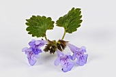 Ground ivy with flowers