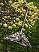 Windfall apples in garden with leaf rake