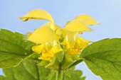 Yellow archangel with flower