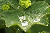 Lady's mantle (leaf with drops of water, flower)