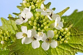 Garlic mustard with flowers