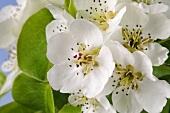 Pear blossom (close-up)