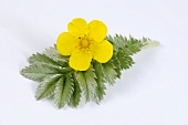 Silverweed (leaf and flower)