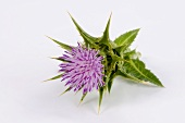 Milk thistle (flowering)