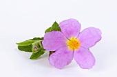 Rockrose flower