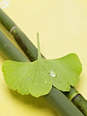 Gingko leaf with drops of water on bamboo
