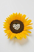 Sunflower with sunflower seed heart