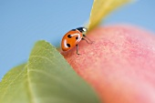Ladybird on apple with leaves