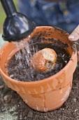 Child watering a bulb in a flowerpot