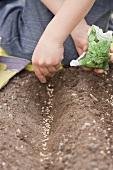 Kind streut Spinatsamen in die Erde