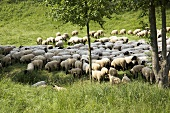 A herd of sheep in a field