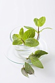 Mint Sprig on a White Background