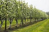 Pear trees (espailiered)
