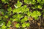 Woodruff in the forest