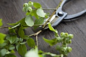 Blueberry sprigs with garden shears