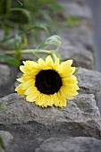 A sunflower on a stone wall