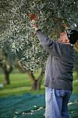 Harvesting olives, Tuscany, Italy
