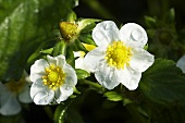 Strawberry flowers (close up)
