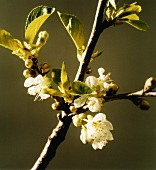 Apple blossom on branch