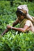 Woman picking tea leaves on a tea plantation in Sri Lanka