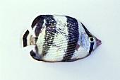 Batfish (Platax)