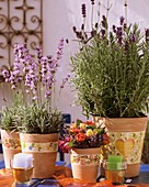 Lavender in flowerpots, varieties 'Munstead' & 'Hidcote Blue'