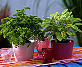 Parsley, variety 'Mooskrause' and golden sage, 'Icterina'