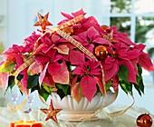 Weihnachtsstern der Sorte 'Cortez Hot Pink'