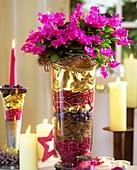 Weihnachtskaktus weihnachtlich dekoriert im Glas