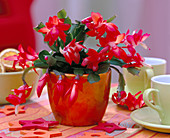 Red Christmas cactus in shiny metallic cache-pot
