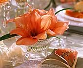 Lachsfarbene Amaryllisblüte
