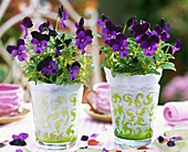 Horned violets in two glasses