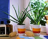 Aloe vera in coffee mugs on windowsill