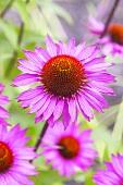 Echinacea, blühend