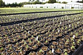 Polytunnels and rows of young plants