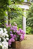 Hydrangea macrophylla 'Hamburg' vor Gartenpavillon