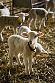 Lambs on straw in barn