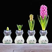 Hyazinthe (Hyacinthus orientalis) von der Knospe bis zur Blüte