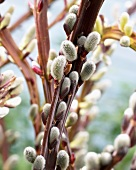 Pussy willow (close-up)