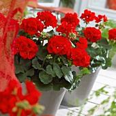 Red pelargoniums in flowerpots