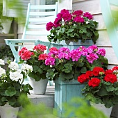 Pelargoniums of different colours on terrace